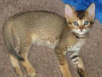 Rare chausie kittens 1 ruddy(brn) female and 1 grizzled