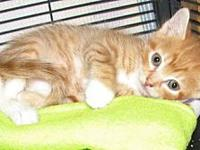 My story Meet Chaz a red tabby with white male kitten.