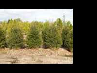 7-8' Norway or White Spruce, 3/$480, 5/$750 or 10/$1400