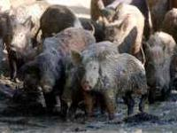 I have 80-130lb hogs for $60 each,....... 35-50lb hogs