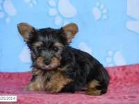 These dainty Yorkies are so cute! They are playful and