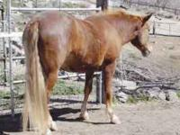 Very sweet five year old Mustang gelding. Great
