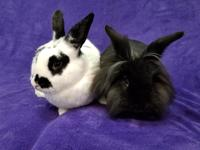 This adorable bonded bunny pair is being offered for an