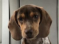 My story Chedder is a 4 month old pocket Beagle mix