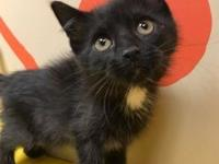 Cheerio's story Cheerio (female) 6 weeks - Black DSH -