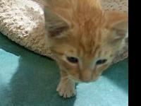 Cheese Nip's story Adoption fee is $75 , this kittens