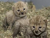 We have very healthy and gorgeous tiger cubs and