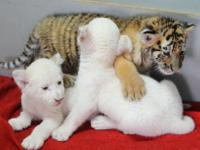 We have some Cheetah, leopard, lion, tiger and jaguar