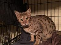Three female cheetoh kittens left. Two snow marble and