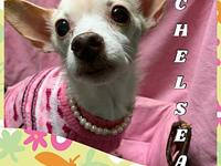 My story Chelsea is a 6-7 year old chi. She is utd on