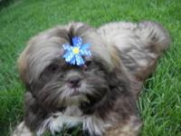 Chere is a beautiful Male Shih Tzu who loves to run and