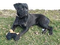 Cherry's story Cherry is an adult, female Cane Corso