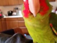 Cherry Head Conure forsale 6 months old. Starting to