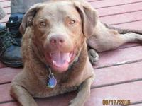 Chesapeake Bay Retriever I am 2 years old current on