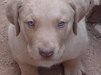 Chesapeake bay retriever puppies. AKC registered with