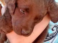 we have 1 female Chesapeake Bay Retriever 8 weeks old