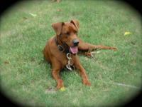 Chesapeake Bay Retriever - Harley - Large - Young -