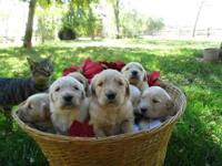 We have a litter of Chesapeake Bay retriever puppies