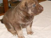 AKC MALE PUP LOVE HIS COLOR HE IS THE BIG GUY OF THE
