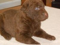 AKC MALE SWEET LITTLE GUY MOTHER HAS EXCELLENT PEDIGREE