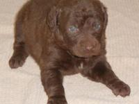 AKC MALE PUP TAKING DEPOSITS NOW WILL BE READY TO GO IN