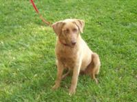 Chesapeake Bay Retriever - Saffron - Medium - Young -