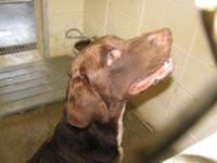 Chesapeake Bay Retriever - Charlie - Large - Young -