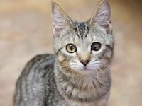 Chesley's story Chesley is a spayed female kitten,