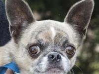 Meet Chester, a Chihuahua mix who is 8 years young. He