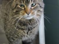 Meet Chester! Chester is a 1 year old tabby who is