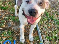 Chester is a 1-3-year-old Pit Bull. He is a love of a