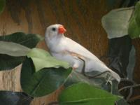 Beautiful chestnut flanked white male (pictured)--