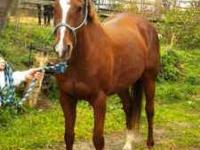 Chestnut mare, 15.2 hands, sleek and shiny, off the