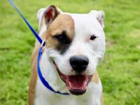 Chevy is an active, playful boxer mix boy living at the