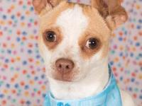 Chevy is a fun, energetic 9 month old chi blend. He