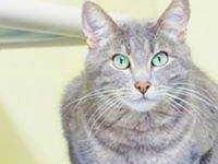 Chevy's story Chevy is a beautiful grey male cat with