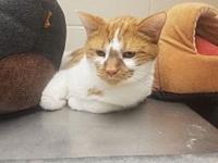 Chevy's story Chevy is a sweet orange male DSH. He