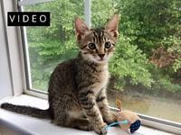 Chevy's story Description: Grey tabby with gorgeous