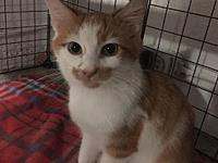 My story *male kitten*orange tabby and white