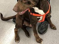 CHEVY's story Meet Chevy, He is a 83# Chocolate Lab