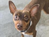 My story Meet Chevy! This adorable 2yr old Min Pin mix