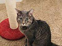 Chewie's story Chewie is a grey/white tabby w/spots of