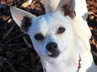 Chewy's story Chewy Chihuahua Mix Red Bluff, CA Young