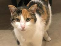 Meet Chewy she is an adorable, sweet , calico cat. She