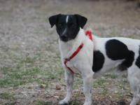 Available for Adoption Chewy ~ Jack Russell Terrier 5