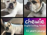 My story Chewie, an 12 year old female English bulldog.