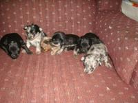 pic # 1&7-8 all pups together mother is a 7 lb cream