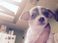 7 week old Chi weenie puppies $150 Will be ready for