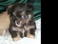 I have a gorgeous litter of chiapom puppies. they come