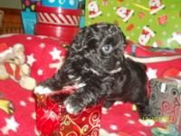ONE OF A KIND!> Toy poodle mix (with chihuahua) . This